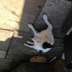 Found dog on 30 Jun 2014 in Glasnevin dublin . White Jack Russell with Black ears found in Glasnevin area 30th June 2014