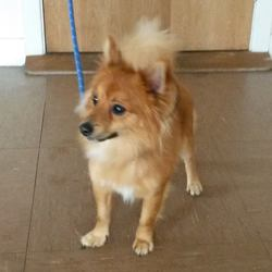 Found dog on 30 Jun 2016 in Greystones area. found,..male Pomeranian who was found in Greystones area. He's a friendly chap who seems well cared for. Contact Wicklow Dog Pound for information on 040444873.