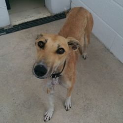 Found dog on 30 Jun 2016 in Pawsawhile vets in Trim. found..2yr old Lurcher...brought in from Pawsawhile vets in Trim...contact Meath pound on 087 0676766.. thanks