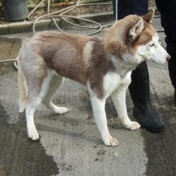 Found dog on 30 Mar 2015 in Firhouse Road , Old Bawn. found husky,now in the dublin dog pound.. Date Found: Friday, March 27, 2015 Location Found: Firhouse Road , Old Bawn