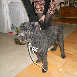 Found dog on 30 Nov 2013 in Glenculen Dublin 18. Black dog found in the Dublin Mountains,