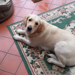 Found dog on 30 Oct 2014 in Knocknacarra . Young golden retriever found in knocknacarra/ Barna area.