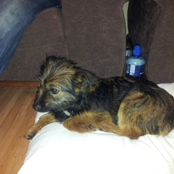 Found dog on 31 Dec 2012 in Ashley Court, waterford. Black and brown terrier
