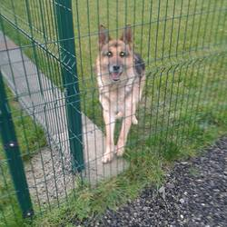 Found dog on 31 Dec 2013 in Drogheda. male German Shephard  (entire) approx 9/10yrs ..found Highlands Drogheda... was found at Christmas.contact Meath pound on 087 0676766