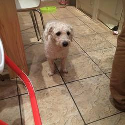 Found dog on 31 Dec 2015 in Crumlin, Dublin. Found a Bichon Frise near Crumlin Children's Hospital. Male. Checked by a vet, roughly 2 years old, not microchipped.