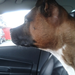 Found dog on 31 Jul 2013 in Portlaoise. Does anybody recognise this female staffy ? Found in the Fairgreen area of Portlaoise. Please contact 0851987577