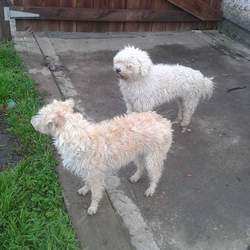 Found dog on 31 Jul 2015 in dunshaughlin. found These 2 dogs were found this evening scared & frightened in Dunshaughlin, No collars,,not microchiped ,