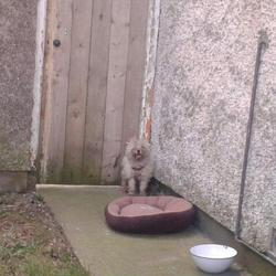 Found dog on 31 Mar 2013 in Dublin. Found in Poppintree area, Ballymun, Co Dublin. Maybe a type bichon frise, very frightened and neglected looking.   Taken today 02/04/2013 by the dog warden to Ashton Dog Pound
