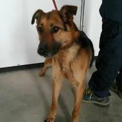 Found dog on 31 Mar 2015 in navan.... found Gsd x ...ref 159 found in Navan with Kenzie the Westie...contact Meath pound on 087 0676766...