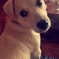 Lost dog on 01 Aug 2015 in Ballymun. Please help Benjy went missing in the early hours of the 1st of August he is a cross breed of a jack Russell and terrier please help hes only a 6 month old puppy missing in the ballymun area