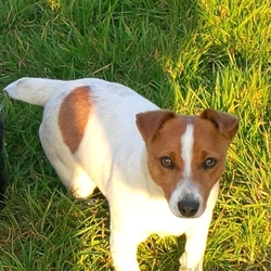 Lost dog on 01 Aug 2015 in Monagnan. Small Jack Russell terrier, 1 year old. Mostly white with brown and small brown face. Went missing on Saturday 1 Aug.