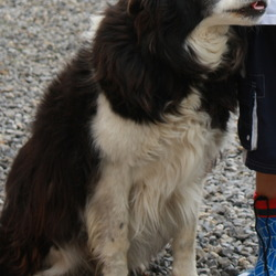 Lost dog on 01 Dec 2012 in Drimsree (between Lullymore & Rathangan) Co.Kildare. Black and White Collie called Paddy. A grand old gentle gent of 13yrs. Hard of hearing and greatly missed.