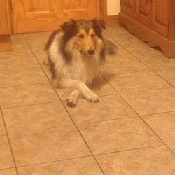 Lost dog on 01 Dec 2015 in Killeen, Newry . Alvin has been missing since the beginning of December. I presume he has been stolen because he is approx 4 years old, and is a pure bred dog, and was wearing a collar with his home details on them. I am scared that he has fallen into the wrong hands as he is a very friendly family dog, and just want to put his photo out there as much as possible. He went missing from Cottage Road in Killeen, (outside Newry, Co.down). Thanks so much.