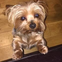 Lost dog on 01 Dec 2016 in Athenry Galway. 9 year old Yorkshire terrior miniture breed missing from Derrydonell north co. Galway 1/12/16