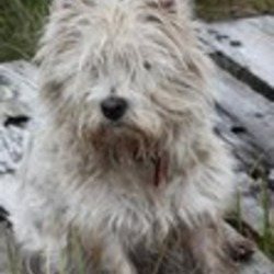Lost dog on 01 Jan 2013 in Clara, Offaly. Female Westie, approx 8. Lost 1st January 2013. Spayed. Please contact with any information