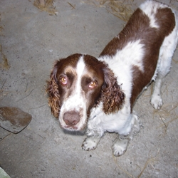 Lost dog on 01 Jan 2013 in Crosshaven, Co.Cork. DOG FOUND- THANK YOU!   Male, Brown & White Tall Springer Spaniel missing since New Years Day morning after Gun Salute in Cork Harbour. He is chipped but not wearing a collar. He is 10 years old and is very friendly.