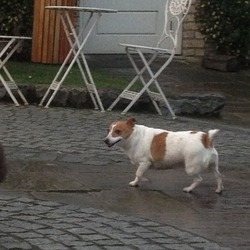 Lost dog on 01 Jan 2013 in Lyons road Celbridge Kildare . Jack Russell female white with brown markings. 5 year old very friendly. Reward for safe return. Lost near Lyons estate Celbridge/Newcastle area