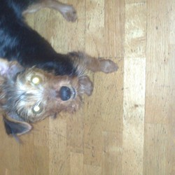 Lost dog on 01 Jan 2014 in East Wall, Dublin. A male 9 month old Yorkshire Terrier mix. Black and light brown in colour. Missing since early new year's day. His name is Alfie. Was last in the area of East Wall, Dublin. Was wearing a light brown leather collar with little metal bone studs in it that was cut at the end. We didnt have a tag on his collar. If found please call Br�d at 0851485472. Thank you