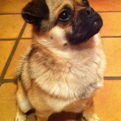 Lost dog on 01 Jun 2012 in Stillorgan/Foxrock. A Pug-Pomeranian cross, small in size and is tame, gentle, very friendly and easily approachable. About 2 years of age. Went missing in Stillorgan-Leopardstown- Foxrock area. If found, please contact Paraic on 086-8872649.