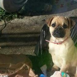 Lost dog on 01 Jun 2013 in newcastle. Pug male 6 months old lost in newcastle co Dublin 