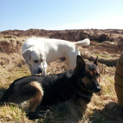 Lost dog on 01 Jun 2014 in Mount Eagle, Brosna, Co. Kerry. Two dogs missing since approx. 1pm from Mount Eagle area of Brosna, Co. Kerry. White 13 month old male labrador. Microchipped, wearing black collar with gold tag with contact details. Needs daily medication. 5 year old female German shepherd. Microchipped but no collar at time. Missing since 1st June.