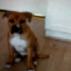 Lost dog on 01 Mar 2012 in cavan. a male staffordshire bull terrier missing sice thursday morning,red and white reslly friendly is micro chipped and has no collar on missing in cavan.if anyone has seen him or has any informaton could you please contact Rachael on 0874191305