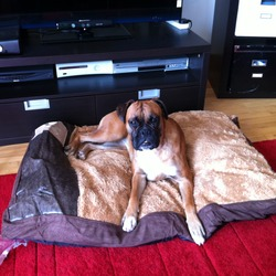 Lost dog on 01 Mar 2012 in Dublin. 2 years old boxer missing since yesterday morning in Fairview. Please let me know if You see her. Little Max is waiting for her...