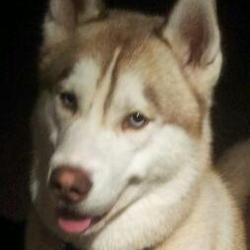 Lost dog on 01 Mar 2013 in Killyganard, Ballylilan, Athy. Siberian husky male lost, brown and white, blue eyes. Chip number 966000000191661. Please contact 089 4729345.
