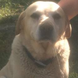 Lost dog on 01 May 2015 in Sutton/Howth. Golden Labrador missing from Sutton/Howth/Baldoyle area since Tuesday (28/04). Beloved family pet, wearing pink collar. about 12 years old!