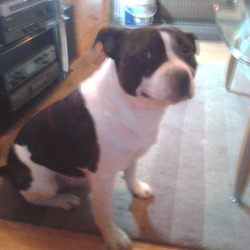 Lost dog on 01 Nov 2013 in blaydon winlaton. White and brindle staffie missing since 1st november from winlaton area. Hes 4yr old and hes a lovely dog. Please can any body help my 3yr old son os heart broken