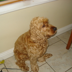 Lost dog on 01 Nov 2013 in Wicklow. Golden Cocker Spaniel, ran away in Avondale Forest Park, 1/11/13 in the afternoon, on the River Walk near the railway bridges. Blue collar. 7 years old. Hairy.