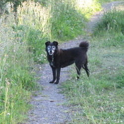Lost dog on 01 Nov 2014 in Kildoon, Nurney, Co Kildare. 13 year old black terrier type with very grey face, grey on chest, arthritic front legs, shake in back legs, hard of hearing, curly tail, wearing collar, is microchipped