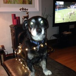 Lost dog on 01 Nov 2015 in Galway city. Small black old Labrador with grey beard named Toby