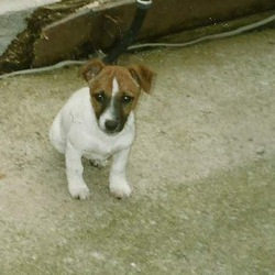 Lost dog on 01 Oct 2011 in Cork. Eight-year-old jack russell, with a white body, a brown face and black markings around his snout. More specifically, he has a white stripe with an arrow tip between his eyes. He also has faded brown speckles dotting his back.