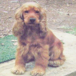 Lost dog on 01 Oct 2012 in Waterford City. Cocker Spaniel - Golden Brown, Male, Neutered, Microchipped, Docked Tail, Shy, Timid.