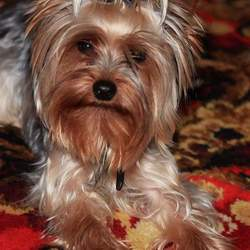 Lost dog on 01 Oct 2015 in DUBLIN 12. Lost Yorkshire terrier, probably taken or stolen.2 years old,Male,microchiped.Missing since 1 October from Drimnagh near Our Lady Children Crumlin Hospital.Name is Kezmow.pfone is 0857439724. Call or text me,please. REWARD 300 EURO