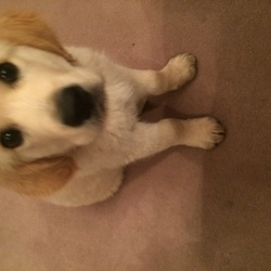 Lost dog on 01 Oct 2015 in Killiney Dublin . Lost golden retriever puppy, red collar , micro- chipped . Lost in Killiney area of Dublin