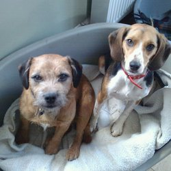 Lost dog on 01 Sep 2012 in Enniskerry Co Wicklow. STILL MISSING - 2 dogs, Female Beagle, male border terrier cross. Missing since Sept 1st from Enniskerry Co Wicklow