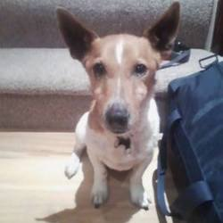 Lost dog on 01 Sep 2014 in Raheny, Dublin. Jack Russell, tan head with white body and tan patches, responds to the name Ben, lost since Monday September 1'st. Please contact Tom on 0879086697 if found
