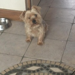 Lost dog on 02 Aug 2013 in 10 the way hunters run dublin 15 clonee. hi my dog is a yorshire terrier he is very loved and he went out yesterday and did not come home he has no collar and when you rub his ear they are sore please if you have him return him my telephone number is 0851982261