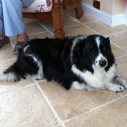 Lost dog on 02 Aug 2015 in Dubber Lane . Beloved black and white collie mix missing from Dubber Cross. Missing one eye and due to age hearing not good. Very kind dog. Please call 085-148-3223 if you have any information. Thank you.