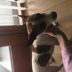 Lost dog on 02 Aug 2017 in Royal Canal Way Ashtown . Male Jack Russell Browne and White Found on Royal Canal way 9am Wednesday 2 August Lovely temperament Brought to Ashtown Dog Pound