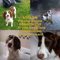 Lost dog on 02 Feb 2013 in Faughart Dundalk Co. Louth. Two brown and white Springer Spaniels. Male&Female Both had black collars with id tags and are microchipped.