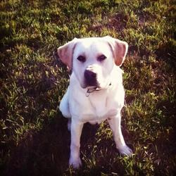 Lost dog on 02 Jan 2013 in letterkenny co.Donegal. young playful Labrador pup lost on 2nd Jan 13 in the Letterkenny Co.Donegal area. please contact me at shaunmcb95@hotmail.com if found