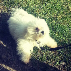 Lost dog on 02 Jun 2013 in Dundalk. Maltese Bichon. Fluffy cloud looking puppy. Long haired. Hair cut from eyes. Missing from Carrickmacross road, Dundalk 2nd june