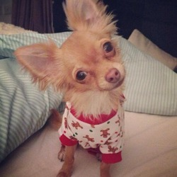 Lost dog on 03 Jun 2014 in Corbally, Limerick. Small Male Chihuahua, Light Brown/Ginger colouring with White colouring on front or collar, chest and tips of back paws.