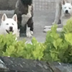 Lost dog on 02 Jun 2017 in Saggart area. My 2 white male akitas escaped on the 2nd june saggart area. If anybody finds or see s them could you please contact me on 085 - 8332681