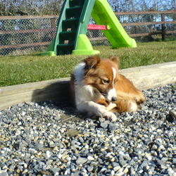 Lost dog on 02 Mar 2013 in Donadea Kildare. Red/white small collie