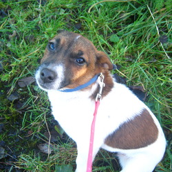 Lost dog on 02 May 2013 in edenderry co offaly. Brown and white Jack Russell  bitch  year and half old not nutered not chipped no collar   she could have been stolen she's miniture pb pointy ears missing since last week please if any one knows where she is please contact  Amanda truly missed as family dog 0852390779