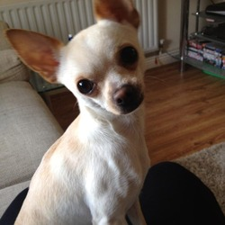 Lost dog on 02 May 2013 in Ratoath co meath. Pale cream mexican tea cup chihuahua with brown eyes answers to the name chico, missing since 02/05/13 approx 7.30pm from ratoath area, if anyone has any information please call me on 0861510573 thanks